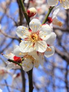 1200px-Prunus_mume